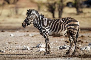 Equus_zebra_hartmannae_-_Etosha_2015